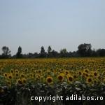 camp cu floarea soarelui
