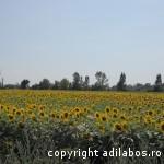 camp cu floarea soarelui1