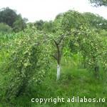prun incarcat cu prune