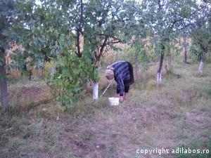 cules de prune la Giris