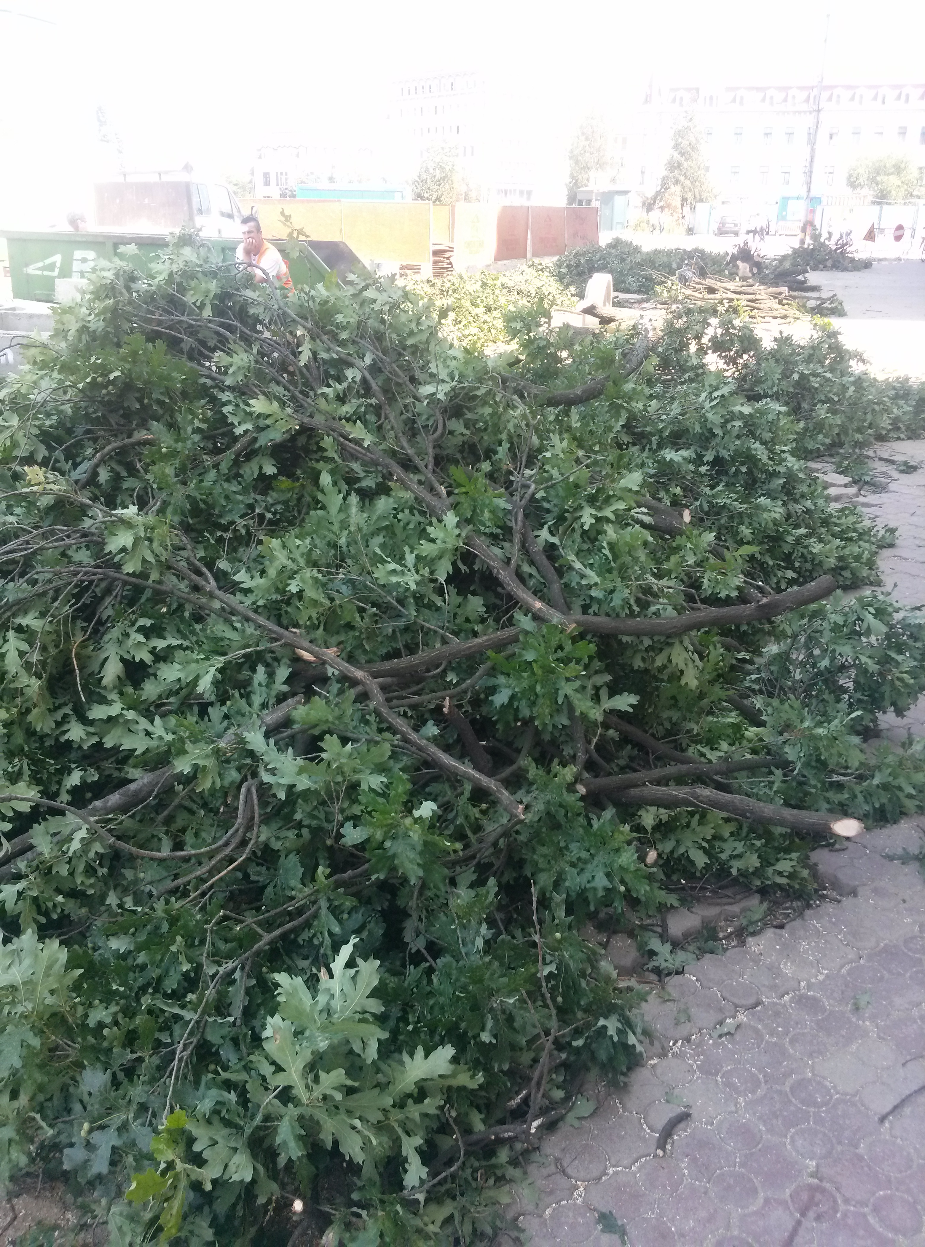 copaci taiati 30 iunie 2015 (13)
