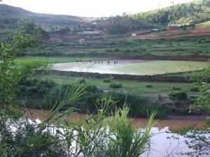 plantatie de orez in Madagascar