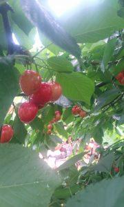 cirese sat (2) vară